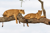 Lions Relax on a Limb of an Acacia Tree in Tarangire