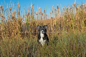 tri colored Border collie dog sitting centered in grasses with large cattails and blue sky behind