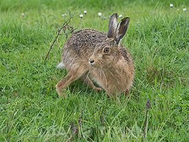 Brown Hare Lepus europaeus North Norfolk May