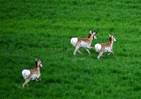 Three antelope in green wheat closer