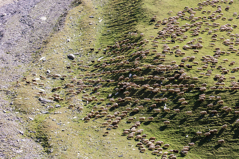 Flock of Sheep Migrating across Hillside