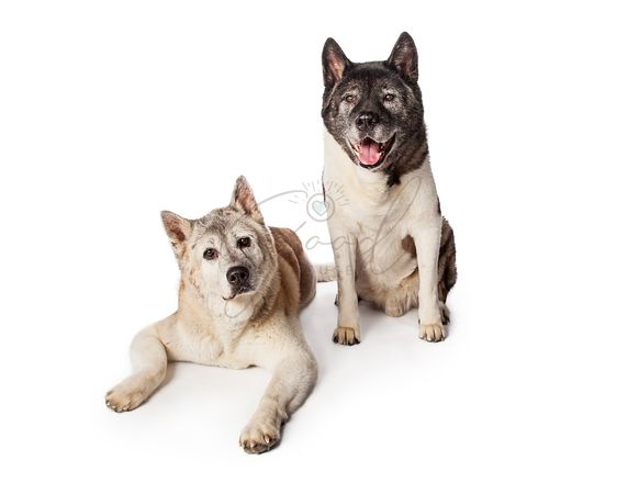 Akita Dogs Resting Over Black Background