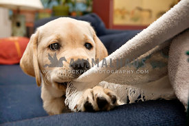puppy pulling on towel
