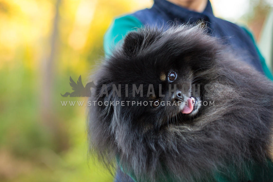 Black Pomeranian dog being carried by owner outside