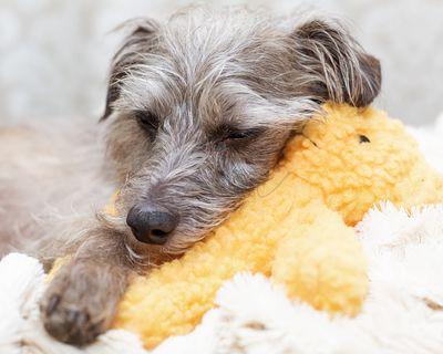 Tired Little Dog Resting on Stuffed Bear