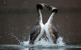 Great Crested Grebes 'Weed Dance'