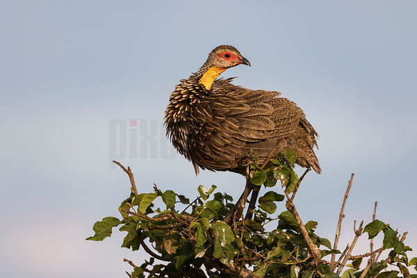 Yellow Necked Spurfowl