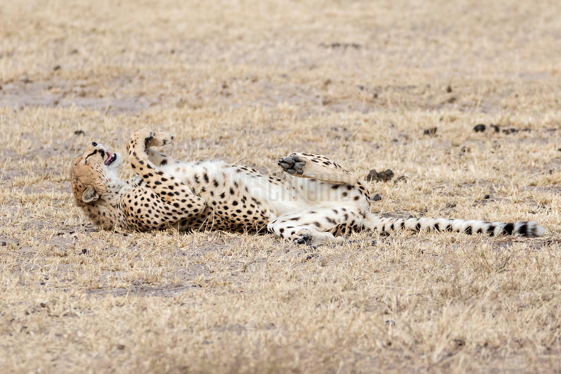 Portrait of a Cheetah Rolling over on its Back