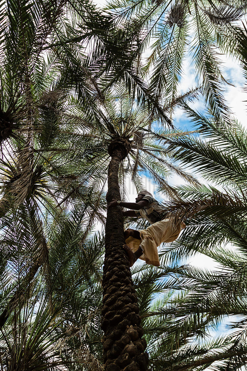 Man Climbing up Date palm Tree