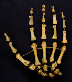 Mounted set of left hand bones, anterior/ palmar view