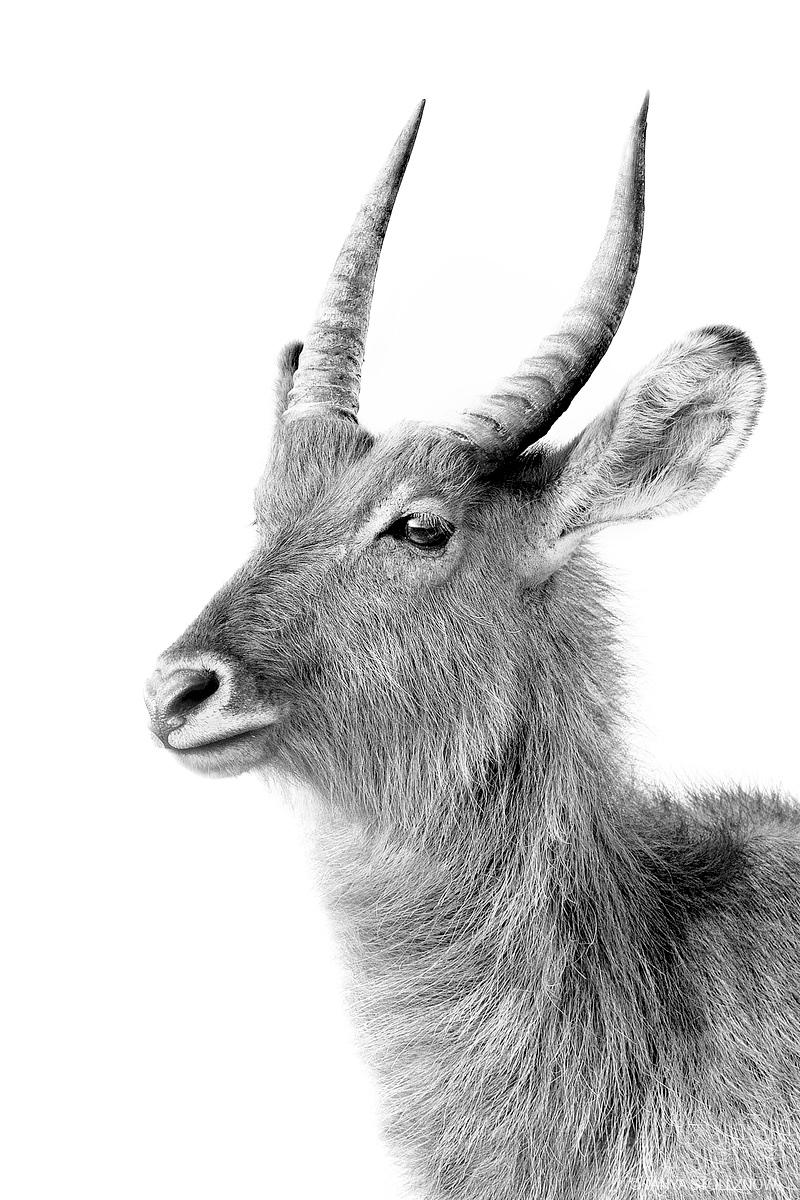 waterbuck-black-white-series001-1