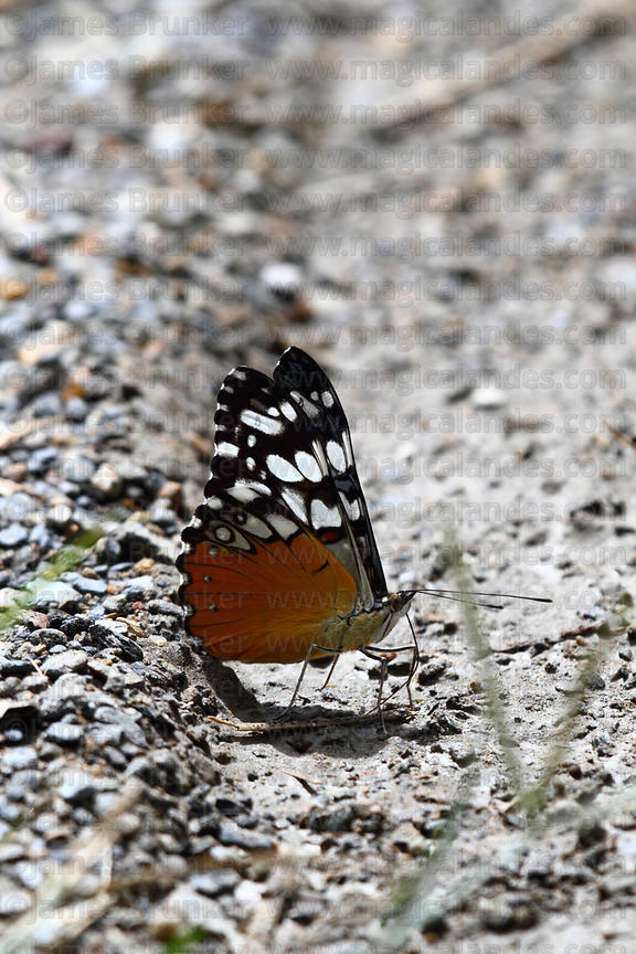 Feronia Cracker butterfly (Hamadryas feronia)