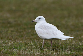 Iceland Gull  Larus glaucoides 1st summer / 2md yr plumage Unst Shetland late June