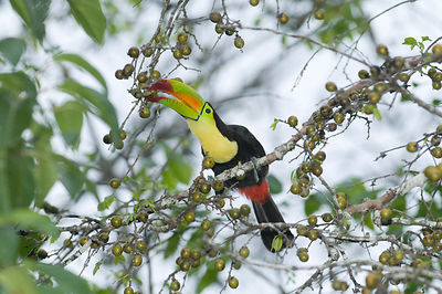 Keel-Billed Toucan Ramphastos sulfuratus brevicarinatus feeding on fruits Tikal Guatemala