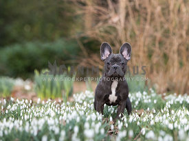 French bulldog in woods with snowdrops