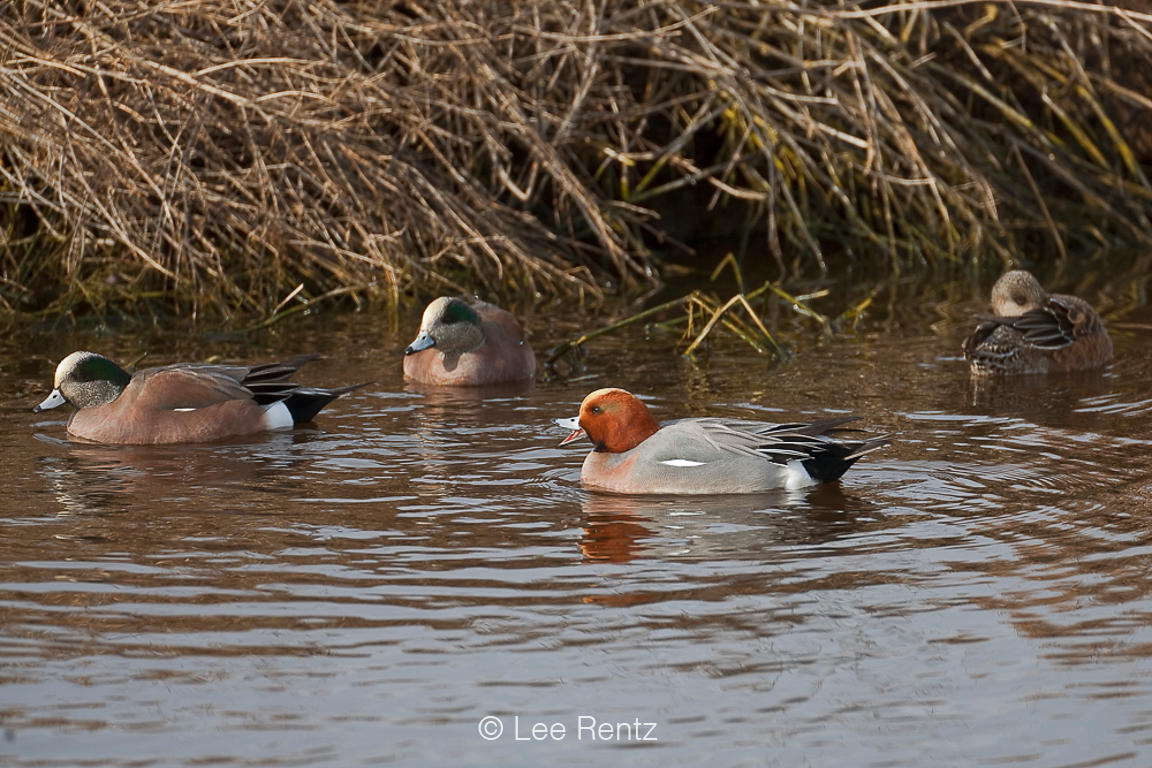 Adult Male Eurasian Wigeon along Boundary Bay