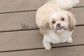 A small cream mutt on decking, looking at the camera