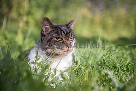Tabby and white cat in long grass