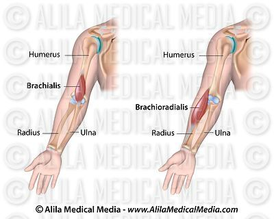 Brachialis and brachioradialis, labeled.