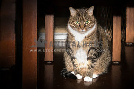 Serious tabby cat sitting under the table at home