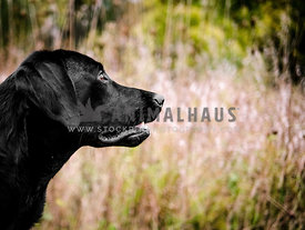 black labrador retriever in front of field of grass