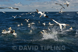Gannets Morus bassana diving for Mackerel off Noss Shetland June