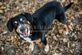 Adult entlebucher standing in field looking up at camera