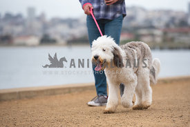 large sheepadoodle being walked on leash