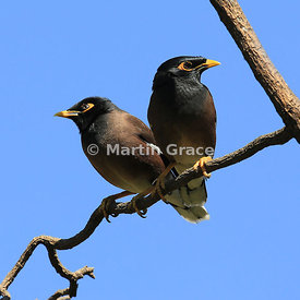 Common or Indian Myna (Mynah) (Acridotheres tristis), Sandton, Johannesburg, Republic of South Africa