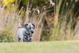 Grey and black Australiian Cattle Dog puppyp exploring a field