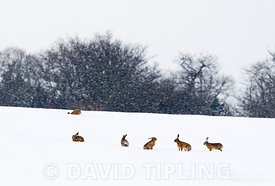 Brown Hares Lepus europaeus  in snow covered field Yare Valley Norfolk January