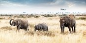 Three Elephants Walking in Kenya Africa