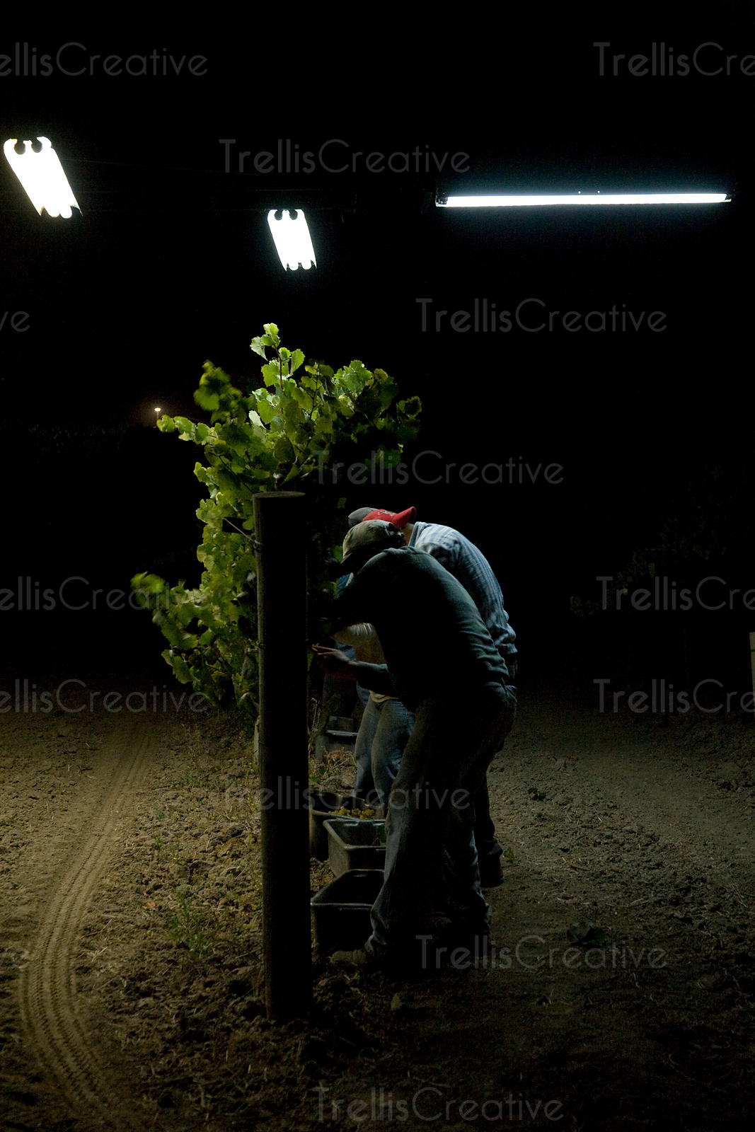 Tractor lights illuminate a Carneros vineyard during a midnight grape harvest