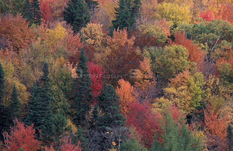 Aerial view mixed woodland in fall autumn, Foret des Laurentides, Quebec, Canada