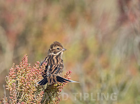 Reed Bunting Emberiza schoeniclus female in autumn on saltmarsh Norfolk