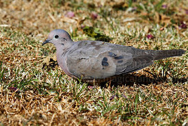 Adult Eared dove (Zenaida auriculata)