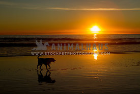 dog silhouette walking on beach at sunset