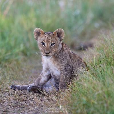 Lion cub resting after frolicking in the grass