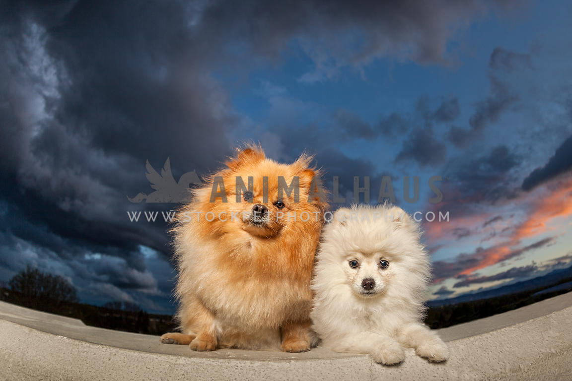 two pomeranians sitting on a wall