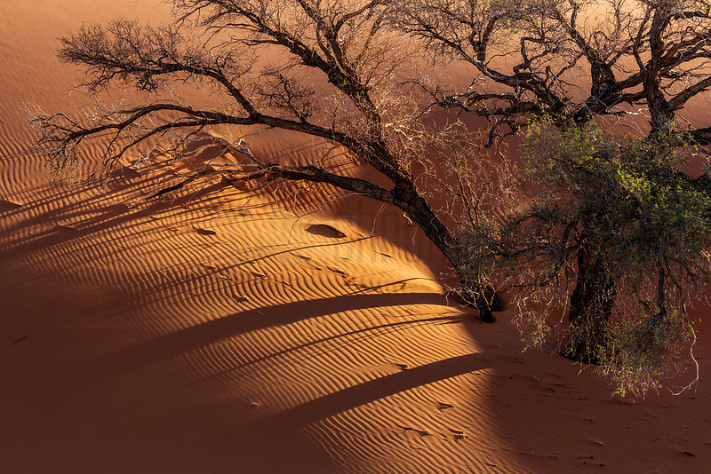 Camelthorn Trees against Namib Dune