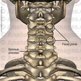 neck-spinous-process-facet-joint-joints-processus-spinosus-cervical-spine-back-skin-names