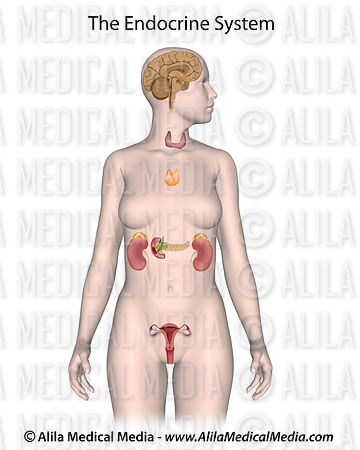 The endocrine system (female) unlabeled