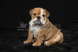 Wrinkly bulldog puppy sitting pose against black background