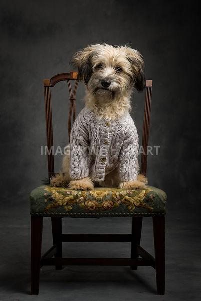 Small white shaggy dog in sweater on chair.jpg