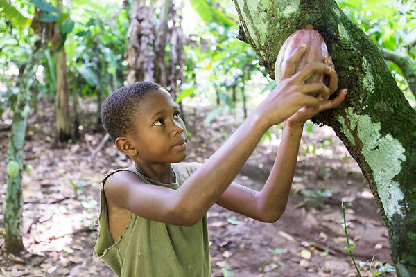 Enfant tournant une cabosse de cacao pour la cueillir, Sao Tomé / Child turning a cocoa pod to pick it, Sao Tomé