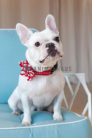 cute-white-frenchie-in-red-collar-on-turquiose-chair