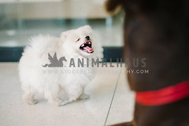 tiny pomeranian puppy bearing teeth with mouth wide open and tongue sticking out