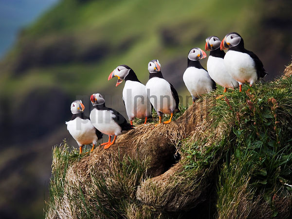 Puffins on the Cliffs of Cape Dyrholaey, Iceland