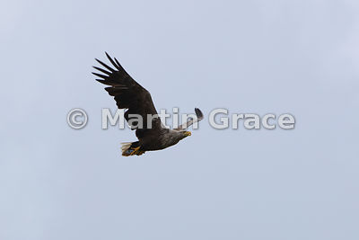 White-Tailed Eagle (Haliaeetus albicilla) in flight, Isle of Mull, Scotland