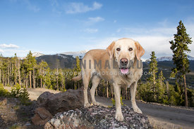 Lab standing on top of mountain with blue sky